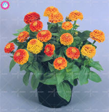 100pcs real mixed color zinnia seeds 24 colors indoor bonsai flower seeds Rare spring farm plants for home garden supplies 2018