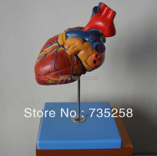 1 5 x Zoom Model of The Heart,Advanced Cardiac Anatomic Model,Adult Heart  Model