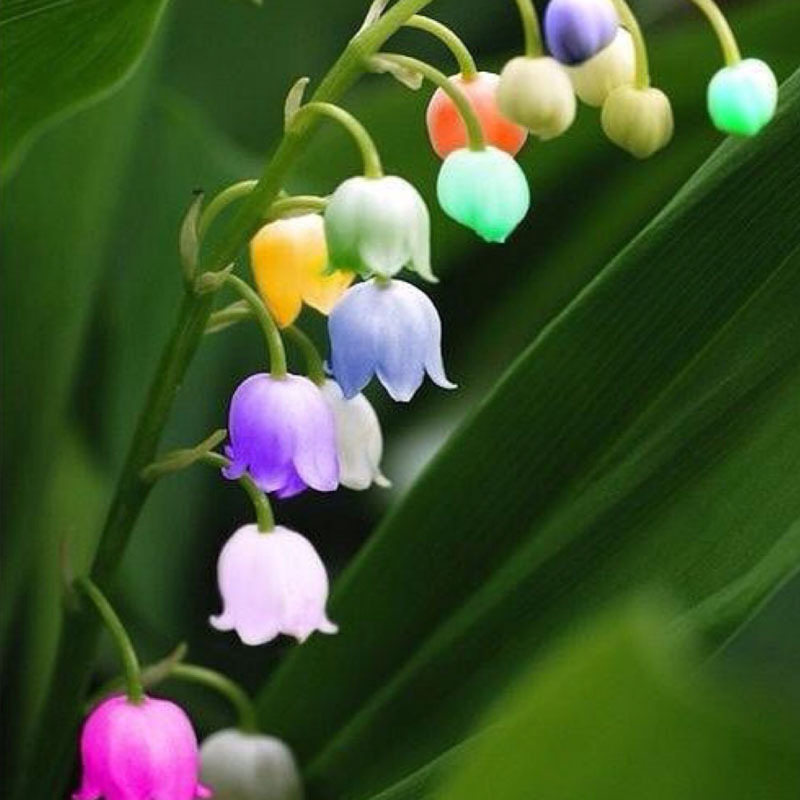 6 colors red blue purple green white colorful bell orchid seeds 6 colors red blue purple green white colorful bell orchid seeds campanula flowers potted flower plants convallaria seed 100pcs in bonsai from home mightylinksfo Choice Image