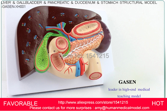 HEPATOBILIARY PANCREATIC TWELVE INTESTINES SECTION STRUCTURAL MODEL OF GASTRIC GASTROENTEROLOGY MEDICAL WHIPPLE GASEN-XH001 авто из германии скидки