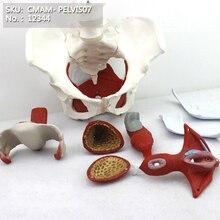 CMAM/12344 таз, женщина, Репродукция органов, пластиковый таз медицинский анатомический модель человека