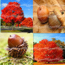 5pcs Red Oak Tree seeds bonsai tree seeds Quercus Alba Shade Acorn Seeds plant for home garden