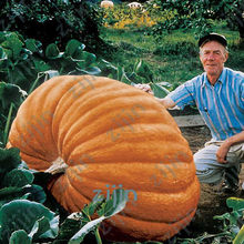 Promotion! 20pcs Professional Packing Giant Pumpkin bonsai Very Heavy Atlantic Giant Pumpkin Melon plants Organic Vegetable(China)