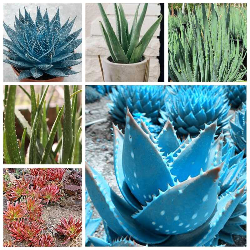 100 pcs/ bag Color Aloe Vera Plant Rare Herbal Succulent Pot Planta Edible Organic Bonsai Flower Garden Planting Purify Air