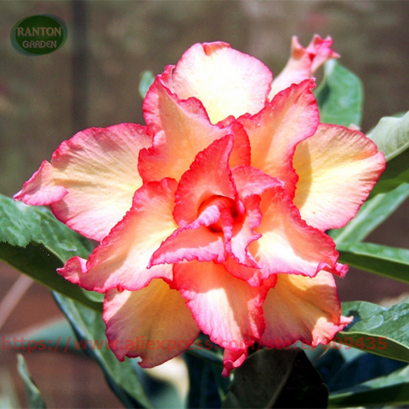 RANTON GARDEN 5 PCS Amanda Adenium Obesum seeds quality Desert Rose seeds pretty flower Seeds for home garden bonsai