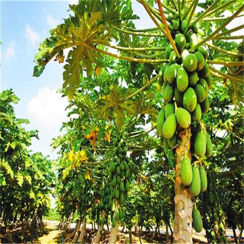 2019 grande promozione! 10 ps/bag nano hovey papaya bonsai dolce di frutta biologica alberi in vaso per la casa giardino di trasporto libero