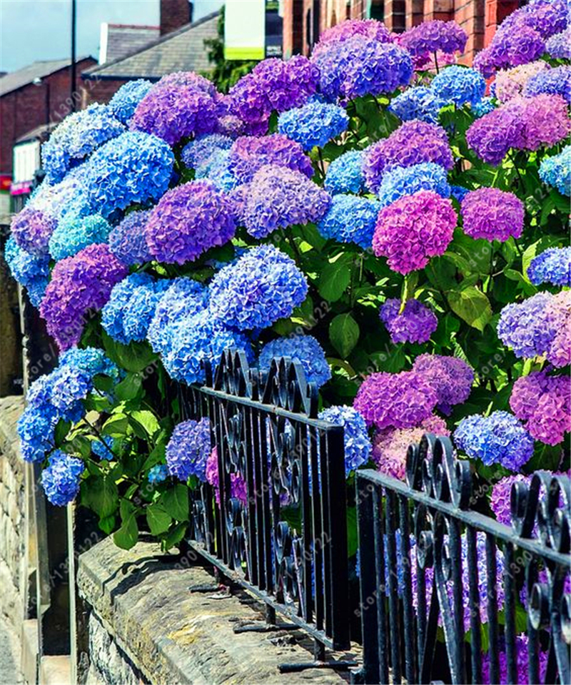 20 pcs/bag hydrangea seed, bonsai flower seeds china hydrangea perennial garden flowers seeds outdoor plant pot