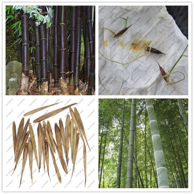 Bamboo Seeds ,20 pcs moso bamboo Beautiful Bonsai tree Seeds for DIY Home Garden Household Items