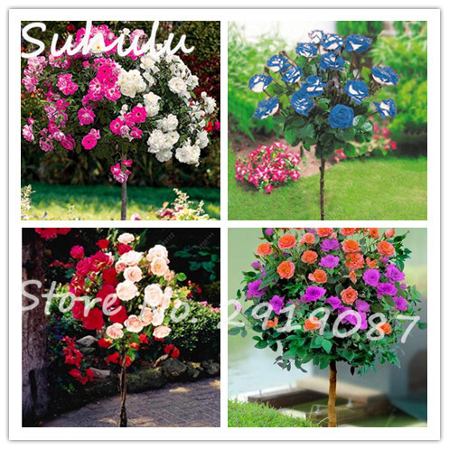50 pcs rare rainbow rose tree seeds gorgeous bright beautiful 50 pcs rare rainbow rose tree seeds gorgeous bright beautiful perennial flowers mixture colors fragrant attractive home garden in bonsai from home garden mightylinksfo