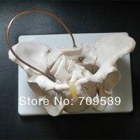 Anatomie Becken Modell mit fetal schädel  geburt Demonstration Modell