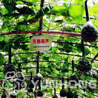 10 тыквы бонсай большой вино ложка для грунта лагенария обыкновенная Calabash растительное бонсай для дома и сада, Времена года могут быть посея...
