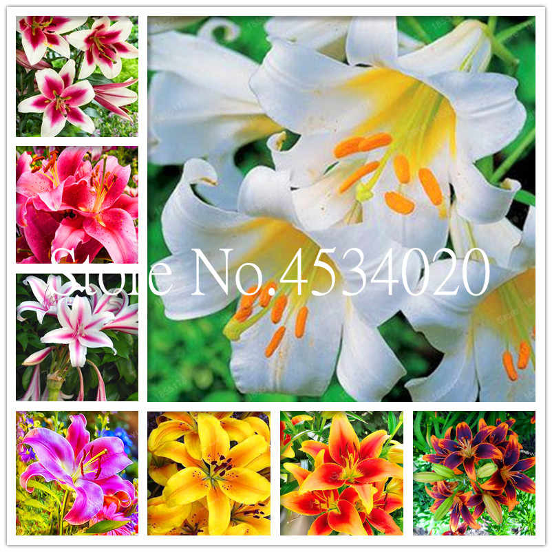 100 шт смесь лилии бонсай цветок Избранное бабочек и полезные пчелы богатый аромат Бонсай завод цветок балкон или дворовое растение