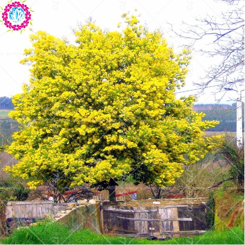 30pcs Sweet Acacia Seeds Sponge Tree Seed Acacia farnesiana Outdoor Perennial Large Woody Plants Flower Seeds for home garden