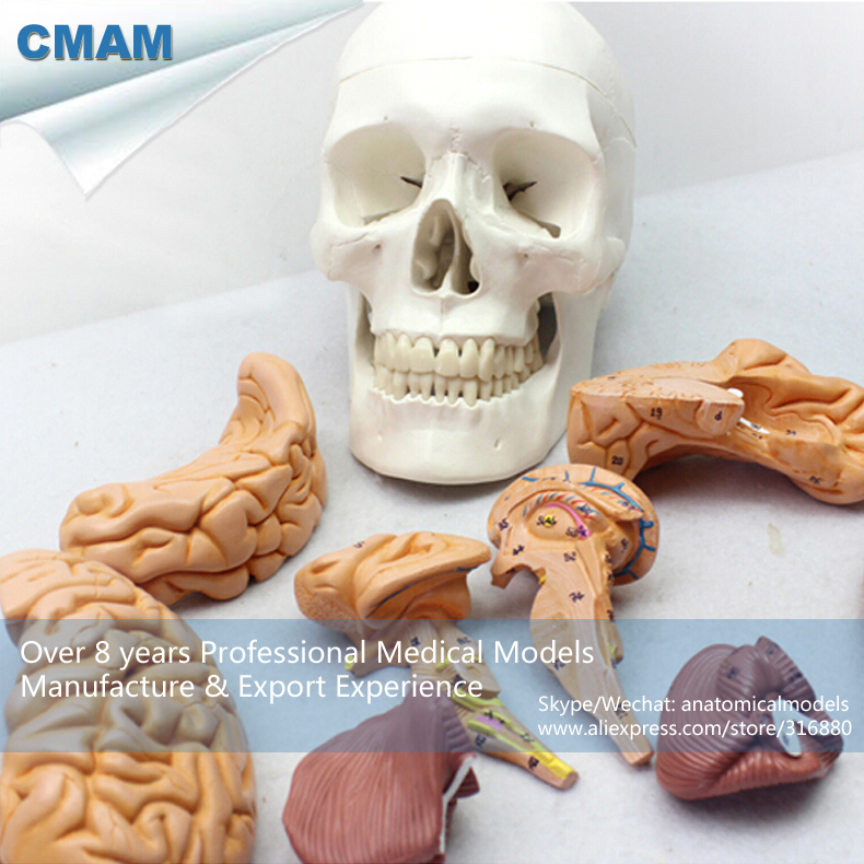 12326 / SKULL01 Life Size Human Skull Model with 9 Parts Free Brain , Medical Science Educational Teaching Anatomical Models