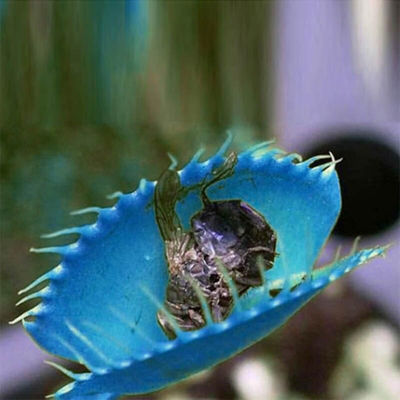 Hot Quality 500 Pcs/Set Blue Flytrap Bonsai Dionaea Muscipula Venus Carnivorous Plants Bonsai Giant Clip Insectivorous Plant LC