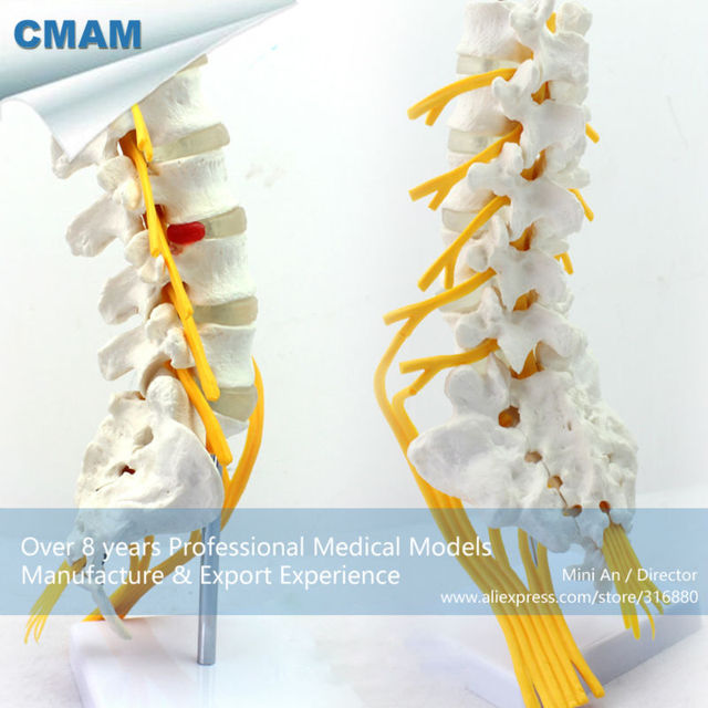 12387 Cmam Vertebra04 Professional Medical Anatomy Life Size Lumber