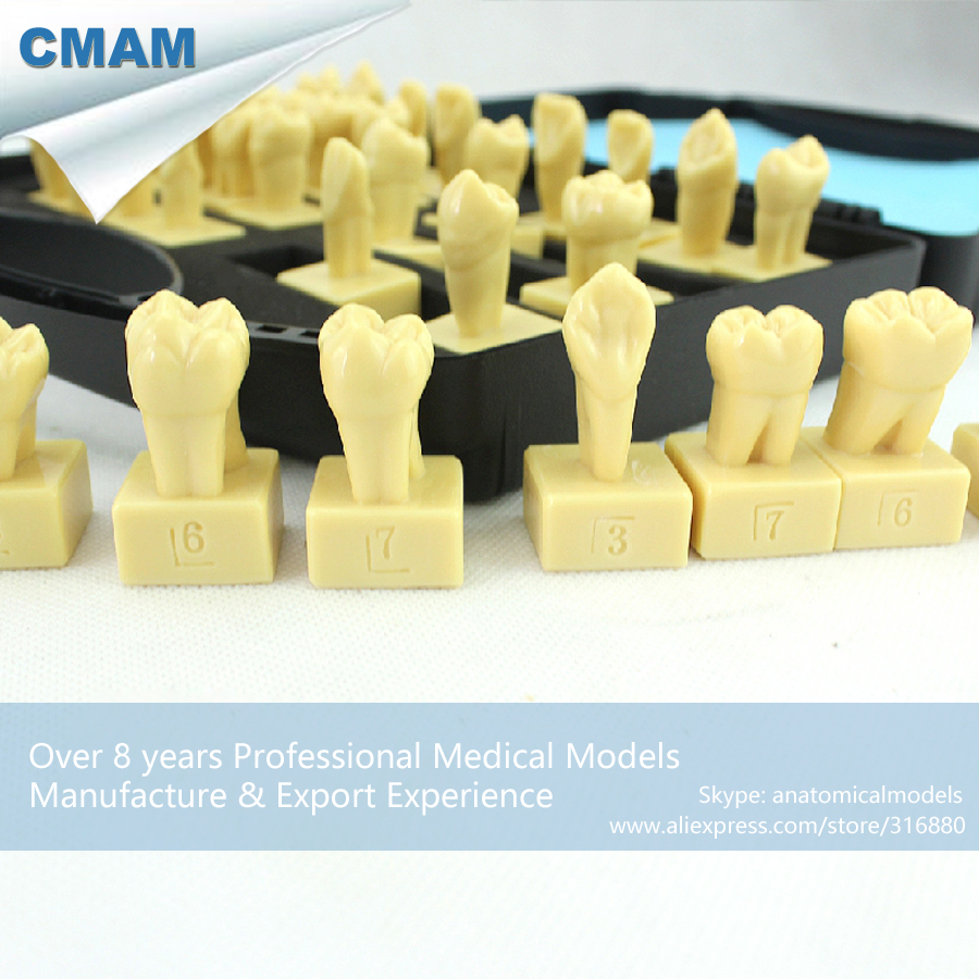CMAM-DENTAL30 Permanent Teeth Carving Models for Tooth Structure Study ,Medical Science Educational Teaching Anatomical Models