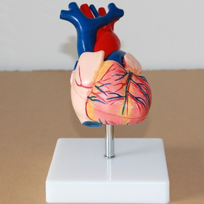 Medical model of the human heart Heart anatomy1:1 free shipping