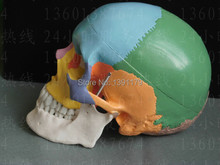 life size Human anatomy skull brain skeleton anatomical dental dentist lab anatomia model skin in trauma for bag refrigerator