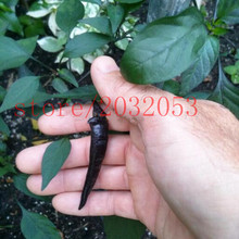 100 Hot Black Cobra Peppers,Chili seeds .Rare NO-GMO vegetable for home garden planting
