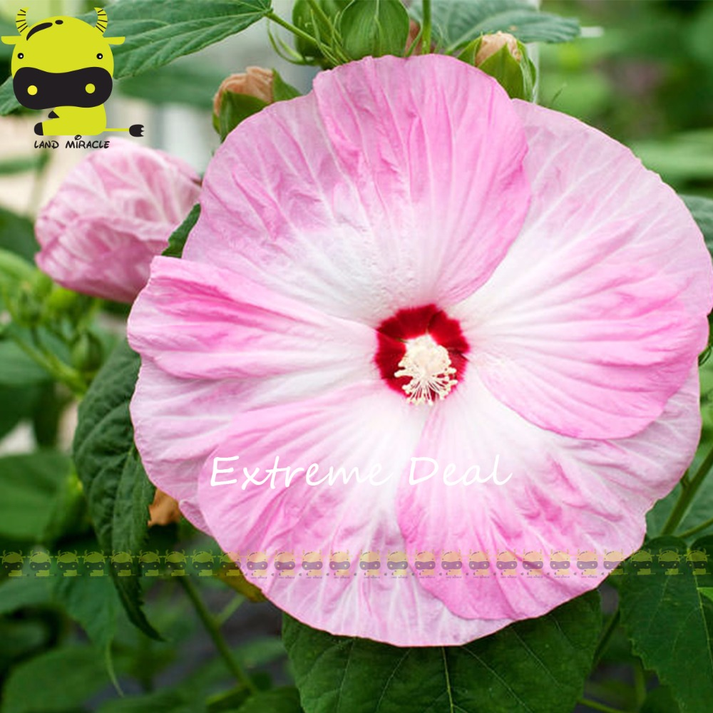 Giant hibiscus flower seedshibiscus moscheutosmix colors perennial material hibiscus flower package 50 seeds in a package wholesale price please contact us at email or numbers izmirmasajfo