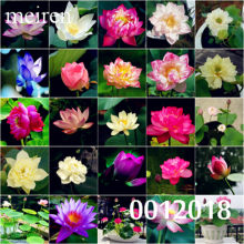 High Quality 100% Original 10 Pcs 9 mix Lotus SeedsFlower Aquarium Plant Lotus Plant Lotus Bonsai Plant Flowers Free Shipping(China)