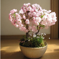 Flower Seedlings Of Cherry Blossoms Home Garden Bonsai Seeds Rare Flower Seeds