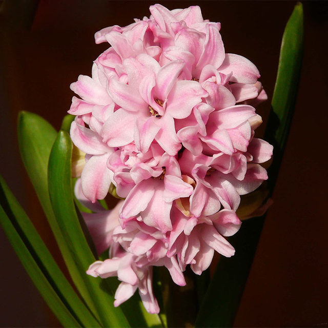 Online shop hot sale rare pink hyacinth seeds balcony plant seeds hot sale rare pink hyacinth seeds balcony plant seeds hyacinthus orientalis flower seed potted plants seeds 120pcs mightylinksfo