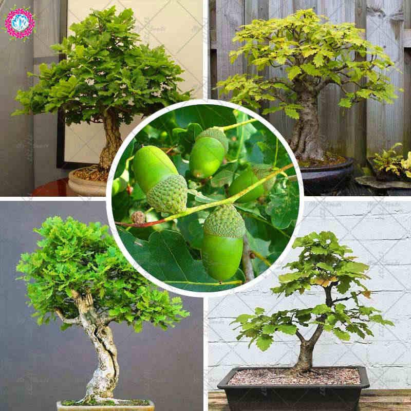 How To Grow A Bonsai Oak Tree From An Acorn Bonsai Tree