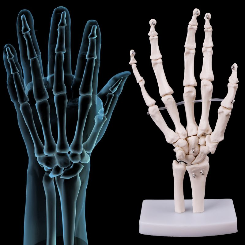 Hand Joint Anatomical Skeleton Model Human Medical Anatomy Study Tool Life Size