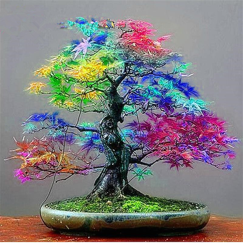 20 Seeds pack Japanese Red Maple Seeds Rare Rainbow Color Very Beautiful Japan Plants New Seeds