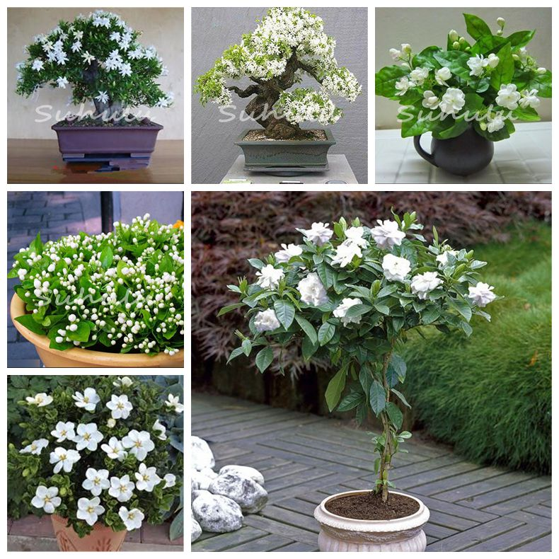 Us 0 32 49 Off 30 Pcs Potted Plants Jasmine Bonsai Beautiful Jasminum Sambac Flower Bonsai Planting Simple For Home Garden The Budding Rate 97 On