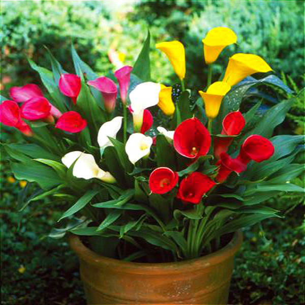 Multi Color Calla Lily Seeds 100 Pcs Pack Greenseedgarden