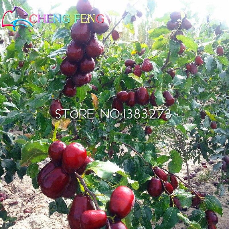 Hot Sale 20pcs/lot Big Japanese Jujube Seeds Honey Sweet Fruit Seed Diy Plant Tree Bonsai Semillas For Home Garden Free Shipping