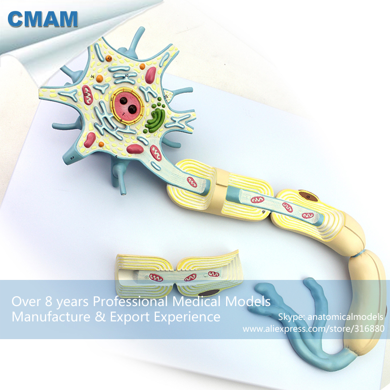 CMAM-BRAIN14 Magnified 2500x Human Typical Neuron Structure Model,  Medical Science Educational Teaching Anatomical Models 9x9x9cm human brain anatomical model need assemble imagination culture medical science teaching