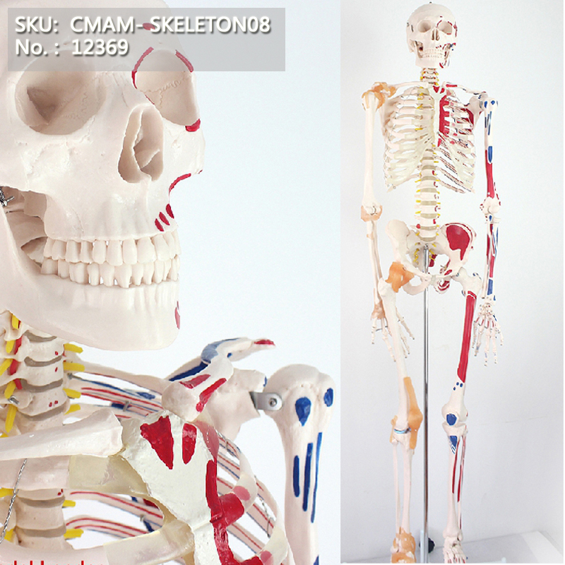 CMAM/12369 170 skeleton, muscle point, Medical Full Skeleton Anatomical Human ModelCMAM/12369 170 skeleton, muscle point, Medical Full Skeleton Anatomical Human Model