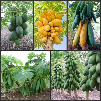 30 PCS Fresh Real Papaya Tree semillas ~ Bonsai Fruit Tree semillas vegetables semillas