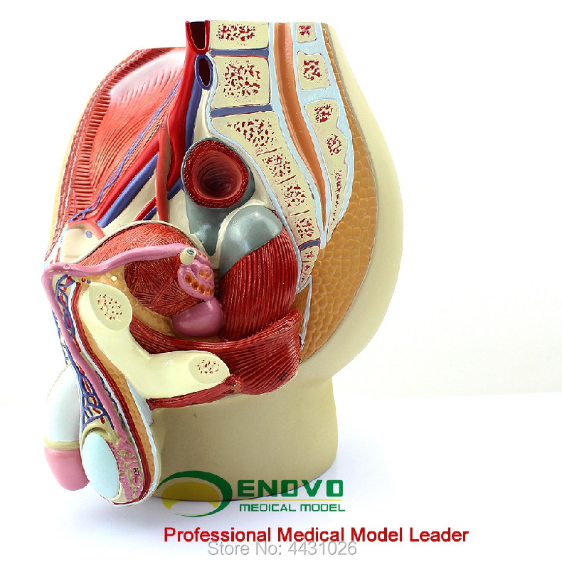 US $94 0 |ENOVO Male reproductive urinary system model male pelvic anatomy  model prostate-in Medical Science from Office & School Supplies on