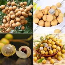 10 Pcs Fresh Longan Dimocarpus Exotic Bonsai Tree Fruit Perennial Shrub Potted Plant Decoration Home Garden