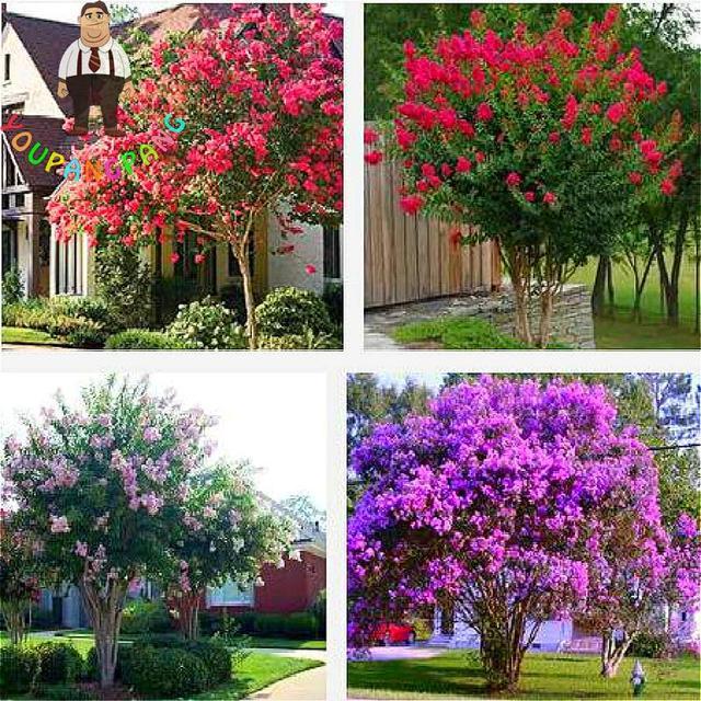 50 Teilebeutel Lila Baum Pflanzen Garten Mehrjährige Aromatische