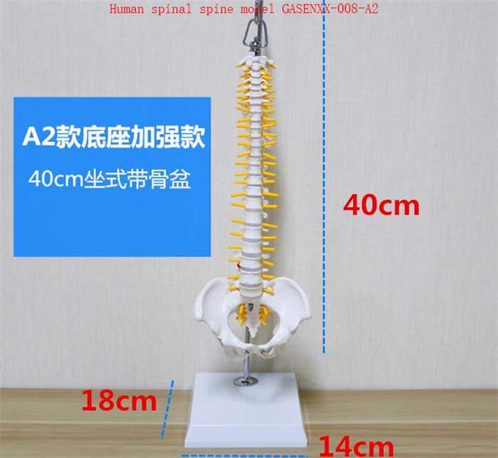 skeleton Spine Bone model Spine teaching Journal of Spine Medicine Human spinal spine model GASENXX-008-A2 spine comfort 245 37