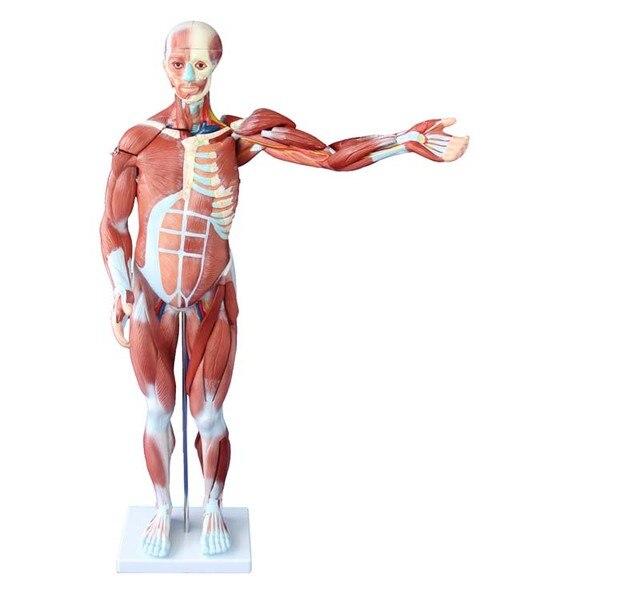80 cm músculo humano modelo masculino (27 Partes) con órganos ...