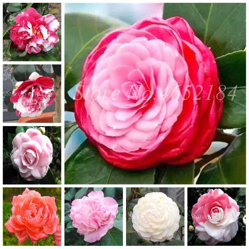 Sales! 5 pcs Rainbow Camellia Common Camellia Bonsai Perennial Indoor Blooming Flower For Home Garden Potted Plant Easy To Grow