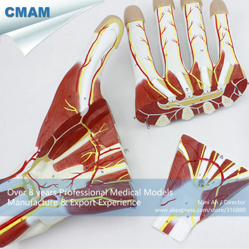 CMAM-MUSCLE09 Hand Sectional Anatomy of Nerves and Blood Vessels Model, Human Anatomy Model of Hand anatomy of a disappearance