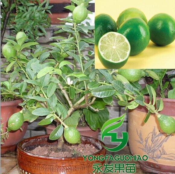 Alta calidad de la fruta semillas 100 unids/pack verde amarillo ...