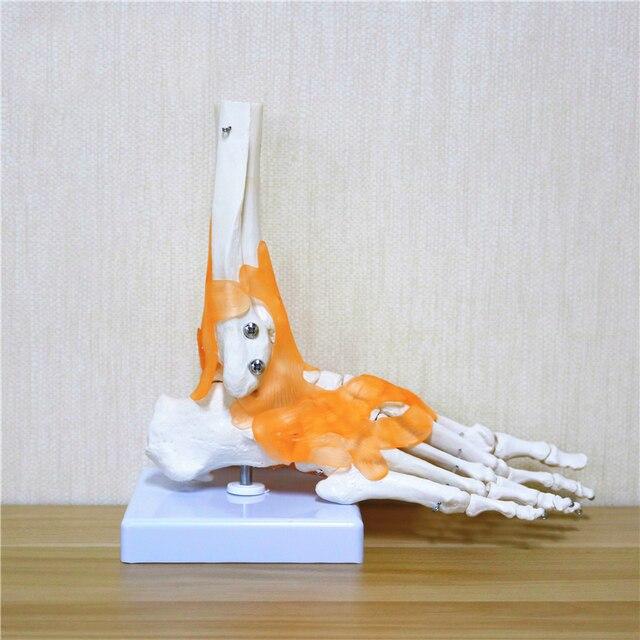 23 × 21 × 11 センチメートル人間 1:1 スケルトン靭帯足足関節 Anatomi cal 解剖医療教育のモデル