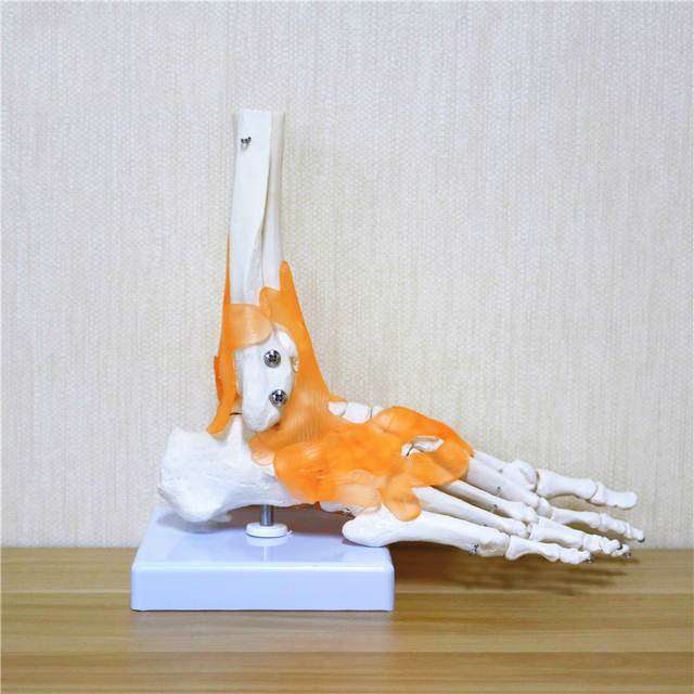 23x21x11cm Human 1:1 Skeleton Ligament Foot Ankle Joint Anatomi cal Anatomy Medical Teaching Model
