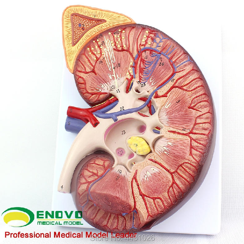 ENOVO Anatomical adrenal model of the renal structure of the kidney heymodel anatomical model of kidney kidney with adrenal model urology nephrology doctor patient communication model