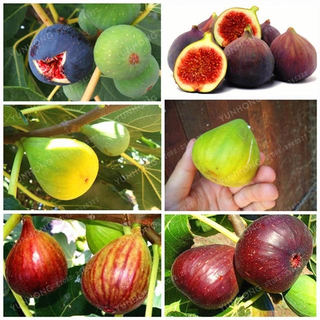التين Figs Ficus Caria Bonsai-Tiger-Stripe-Fig-Tree-Seeds-Courtyard-Ornamental-Plant-Evergreen-Natural-Growth-DIY-Home-Garden-Planting.jpg_640x640