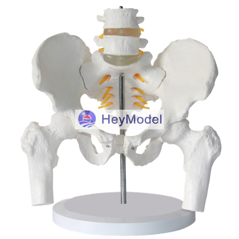 HeyModel Pelvis with Two lumbar spine pelvis femur model body spine skeletal anatomy model spinal nerves 12338 cmam pelvis01 anatomical human pelvis model with lumbar vertebrae femur medical science educational teaching models